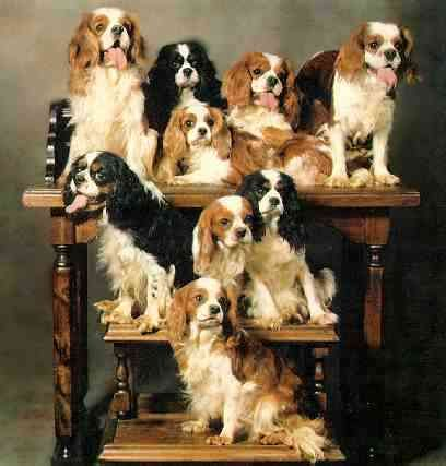[Group of 8+ of King Charles Cavalier Spaniels]
